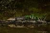 Alligator Encount...