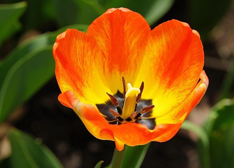 Tulip 2013 12