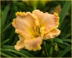 Ruffled Day Lily