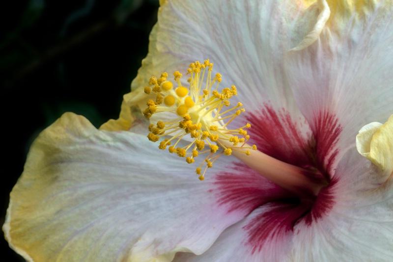 Fancy Hibiscus