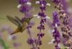 Hummingbird Garde...