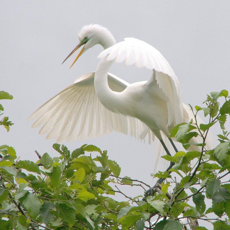 Great Egret - ID: 13920182 © cari martin