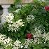 © Sibylle G. Mattern PhotoID # 13924758: in my garden: Hydrangea  and Etoile d'Hollande