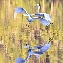 2The Great Egret Fight - ID: 13933875 © Zelia F. Frick