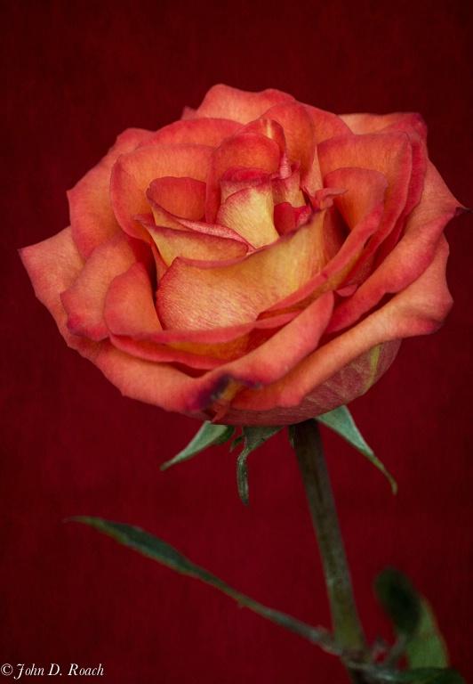 A Rose for Emily - ID: 13937257 © John D. Roach