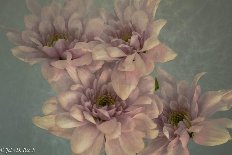 Mums in filtered light - ID: 13937262 © John D. Roach