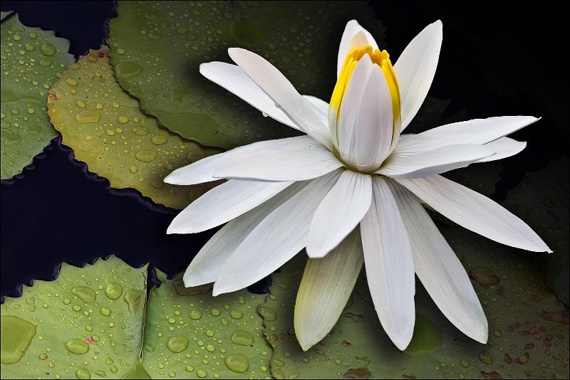 Splendid Lily