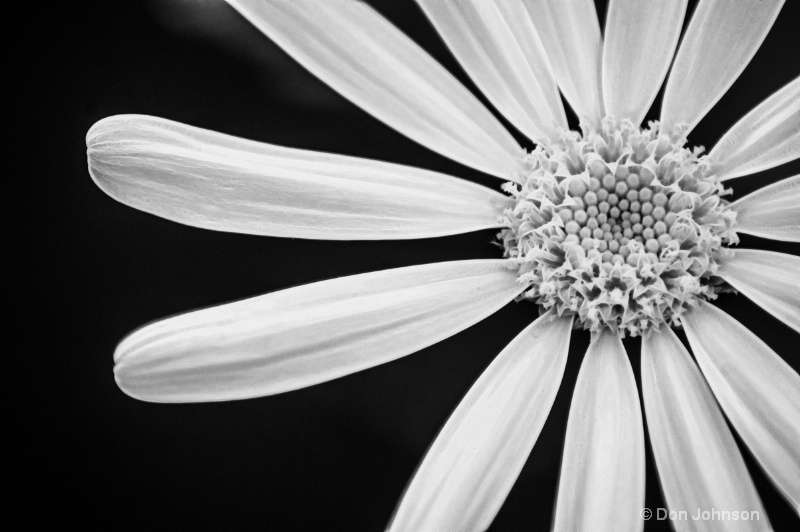 Another B&W Daisy-Fract - ID: 13961796 © Don Johnson