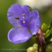Spiderwort With V...