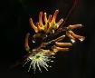 Eucalyptus annula...