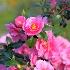 © Sibylle G. Mattern PhotoID # 13965569: Camellia
