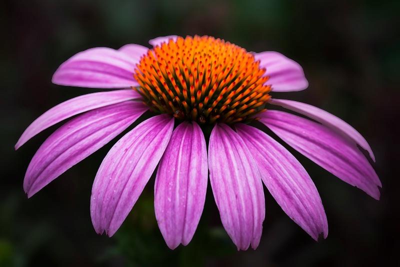 Fancy Cone Flower