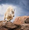 Goat In Motion