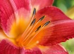 Heart of a Lily