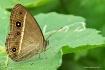 Butterfly: Mycale...
