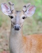 A young buck