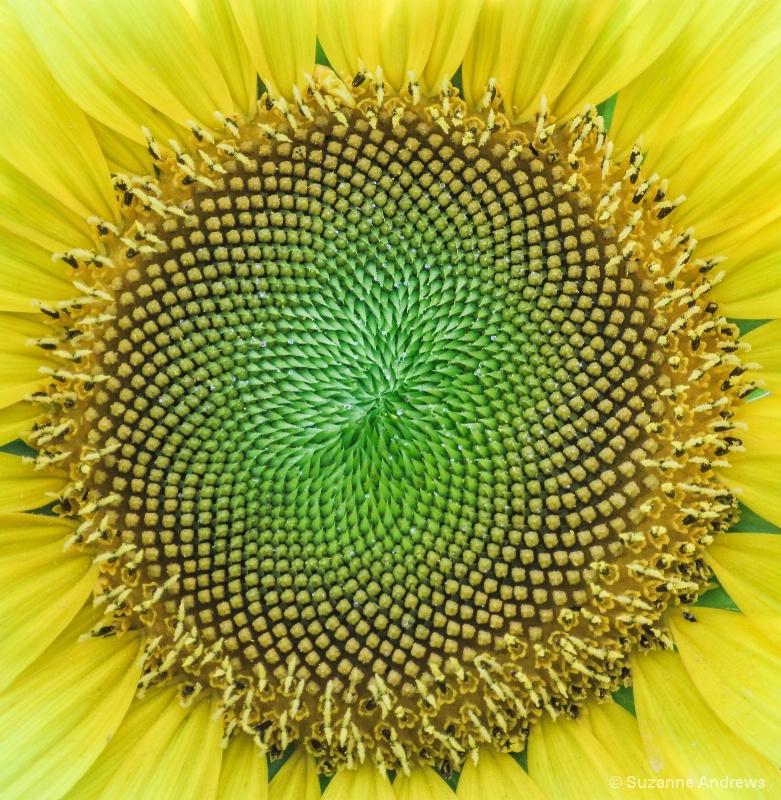Sunshine Flower - ID: 13991580 © Suzanne Andrews
