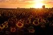 Sunflowers at Sun...