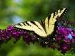 Yellow Swallowtai...