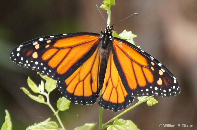 Monarch Butterfly - ID: 14011719 © William E. Dixon