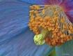 Himalayan  Poppy