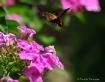 Humming Bird Moth...