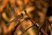 Earthy Dragonfly