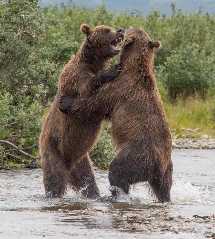 Brown Bears Wrestling 6 - ID: 14056990 © Elliot S. Barnathan