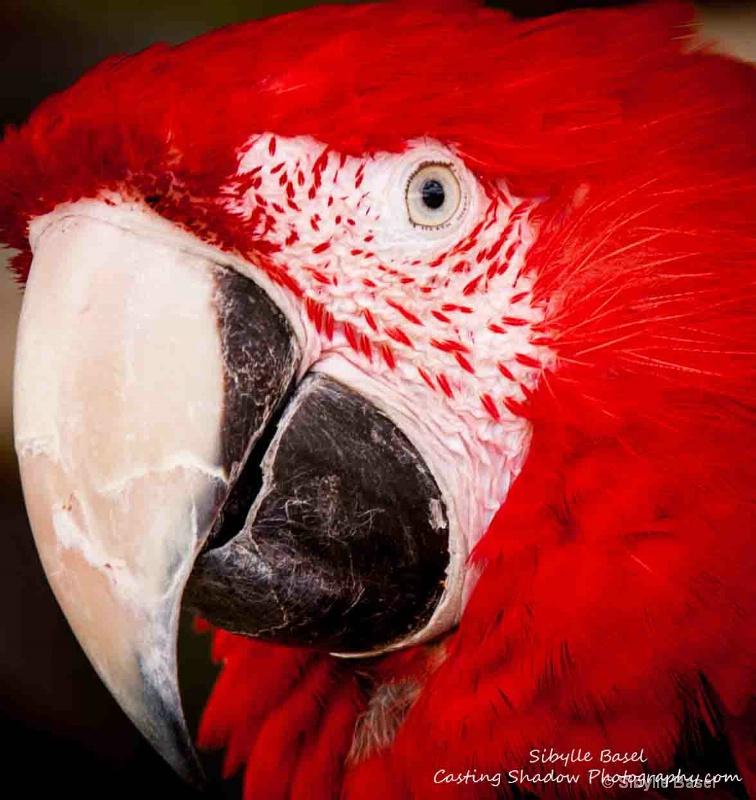Macaw - ID: 14060161 © Sibylle Basel