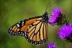 Mr. Monarch
