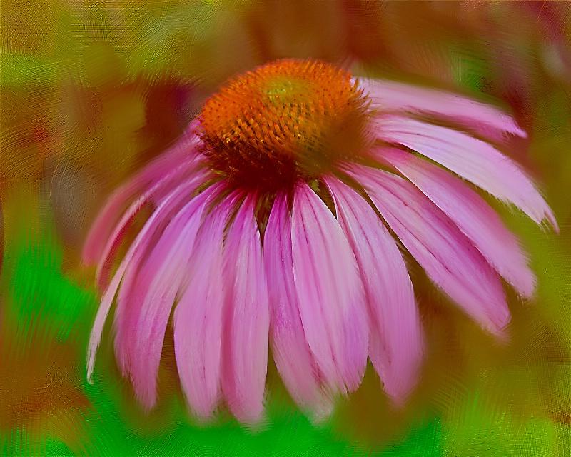 Splendid Cone Flower