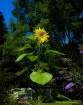 Last Sunflower of...