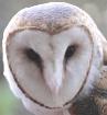 Barn Owl (re-edit...