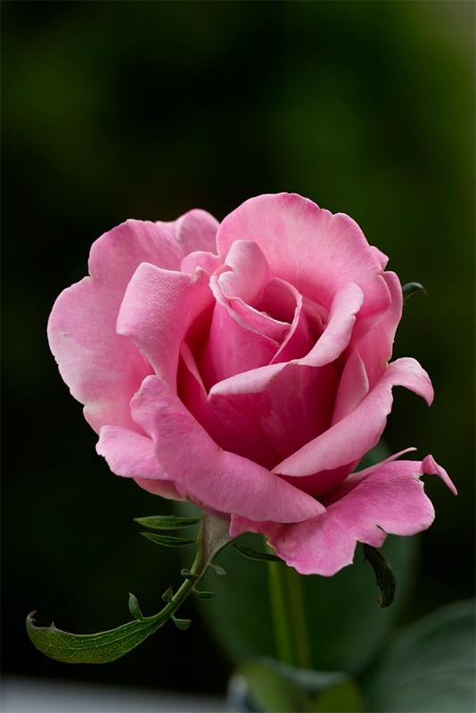Backyard Pink Rose