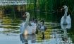 the swan's fa...