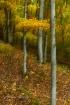 20131009-birches-...