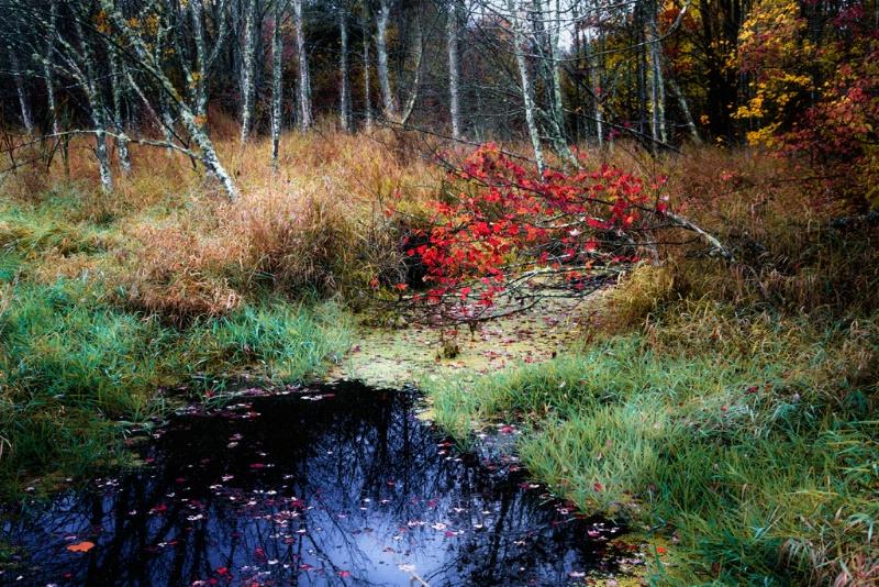 Swamp Birches