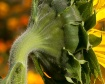 Sunflower Fuzz