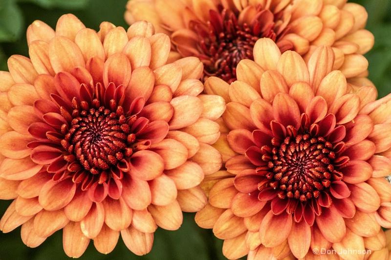 Three Orange Mums - ID: 14240989 © Don Johnson
