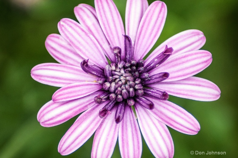 Another Purple Flower - ID: 14247158 © Don Johnson