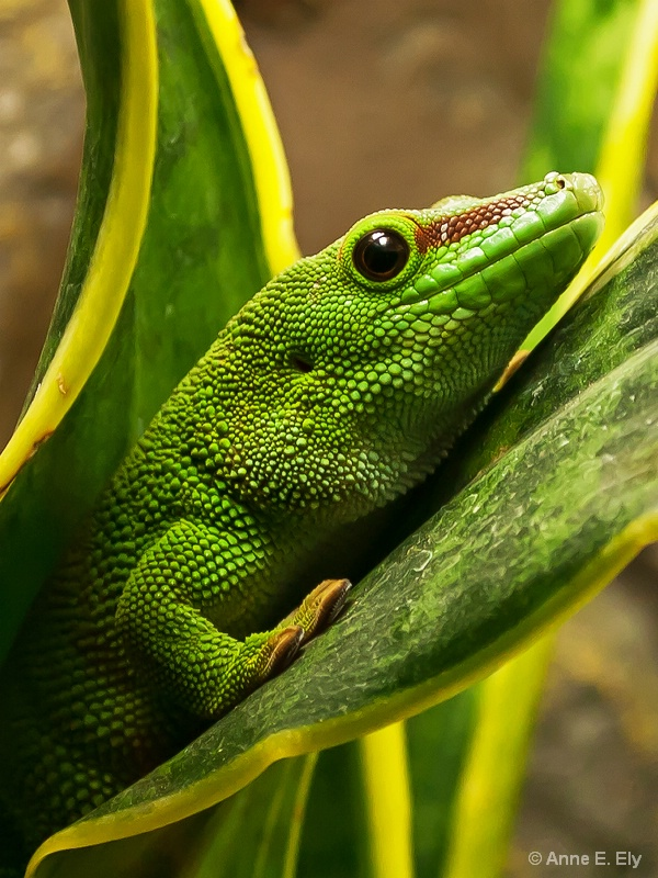 Giant day gecko - ID: 14257404 © Anne E. Ely