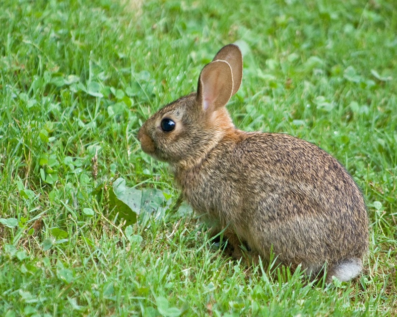 Cottontail - ID: 14257405 © Anne E. Ely