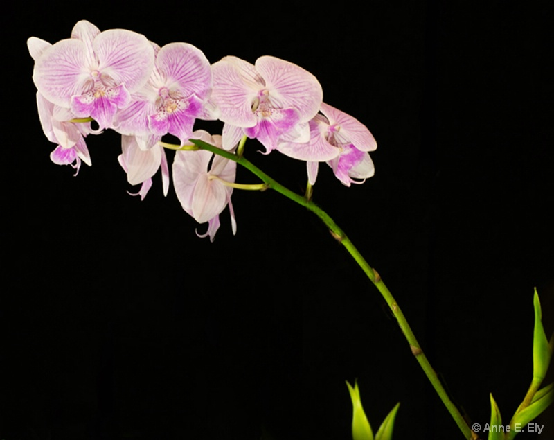 Orchids - ID: 14257407 © Anne E. Ely