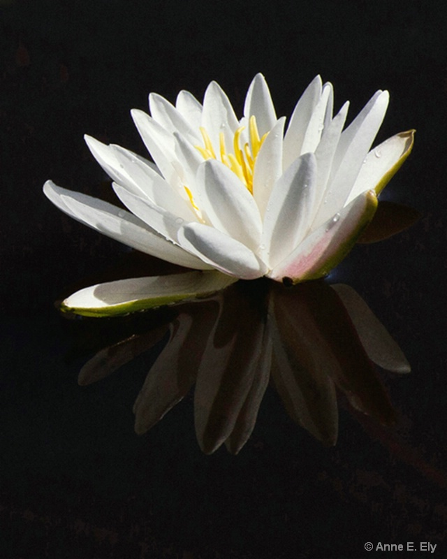 White water lily - ID: 14261306 © Anne E. Ely