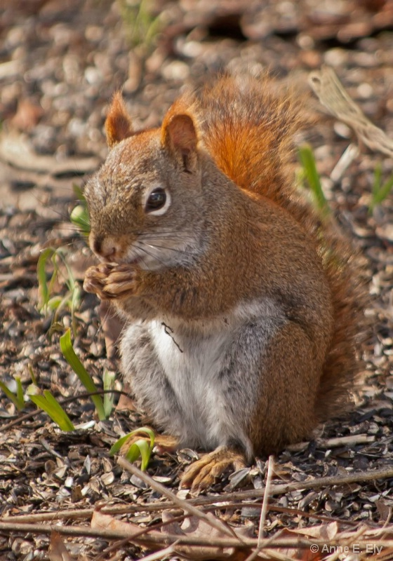 Red Squirrel - ID: 14271482 © Anne E. Ely