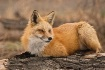 Red fox on log