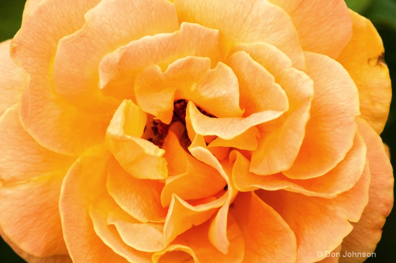Another Hershey Rose - ID: 14313219 © Don Johnson