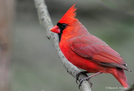 The Scarlet King Of The Forest!