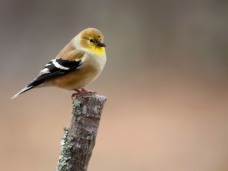 Puffy  Goldfinch