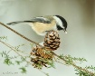 Black Capped Chic...